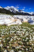 The crocus bloom making their way through patches of snow. Orobie Alps. Lombardy. Italy. Europe.