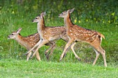 Red deer, Cervus elaphus, Three Fawn Running at the Forest Edge.
