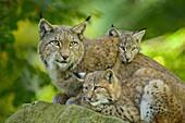 Eurasian Lynx, Lynx lynx, Female with Two Kittens, Germany, Europe.