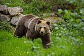 Brown Bear, Ursus arctos.