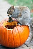 Squirrel eating pumpkin Illinois USA.