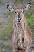 Waterbuck (Kobus ellipsiprymnus), adult female, portrait, Kruger National Park, South Africa, Africa.