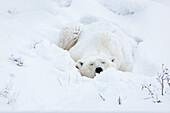 Polar Bear sleeping in snow, Ursus maritimus, Churchill, Manitoba, Canada