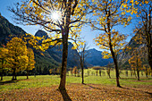 autumncolors in the Eng, maple, Acer pseudoplatanus, Austria, Europe