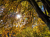 Beech Tree backlit, Fagus sylvatica, Upper Bavaria, Germany, Europe
