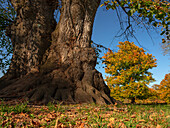 Gnarled lime tree (natural monument) and autumn leaves in the Englischer Garten, Munich, Upper Bavaria, Germany