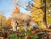 A lamb grazing in autumnal grassland in the northern part of the Englischer Garten, Munich, Upper Bavaria, Germany