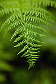 USA, Alaska, Sitka, the delicate leaf of a fern in the forest