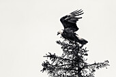 USA, Alaska, Homer, China Poot Bay, Kachemak Bay, a bald eagle spotted in the trees near the Kachemak Bay Wilderness Lodge, (B&W)