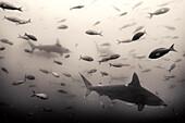 GALAPAGOS ISLANDS, ECUADOR, hammerhead sharks seen in the waters near Gordon Rocks