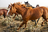 USA, Nevada, Wells, Mustang Monument, A sustainable luxury eco friendly resort and preserve for wild horses is home to 650 rescued mustangs that roam the 900 square mile property in NE Nevada, Saving America's Mustangs Foundation