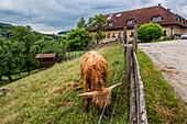 cattle, cow, farm, Austria, Europe