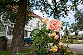 rose, farm, Austria, Europe
