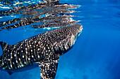 Close-Up Of A Whale Shark (Rhincodon Typus); Cebu, Central Visayas, Philippines