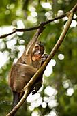 Wild Macaque, Rajah Sikatuna National Park; Bohol, Central Visayas, Philippines