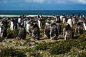 Adult Gentoo Penguins (Pygoscelis Papua) At Bertha's Beach; Falkland Islands