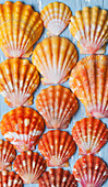 Rare, indigenous Hawaiian red sunrise scallop shells (Langford Pecten) laid out on a blue background; Honolulu, Oahu, Hawaii, United States of America