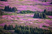 Field Of Fireweed (Chamaenerion Angustifolium); Alaska, United States Of America