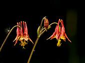 Wild Columbine (Aquilegia), Canadensis Ranunculaceae, New York Botanical Garden; Bronx, New York, United States Of America