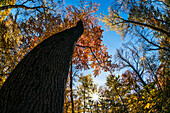 Autumn Coloured Foliage Looking Up To The Blue Sky Against A Tree Trunk, Thain Family Forest, New York Botanical Garden; Bronx, New York, United States Of America