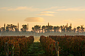Autumn Fog Highlights The Sunrise Over A Vineyard; Tunuyan, Mendoza, Argentina