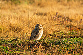 A Burrowing Owl (Athene Cunicularia) Looks At The Camera, The Early Morning Light Bathes The Scene In Warm Colours; Tunuyan, Mendoza, Argentina