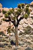 Joshua Tree (Yucca Brevifolia), Joshua Tree National Park; California, United States Of America
