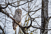 Great Gray Owl (Strix Nebulosa); Thunder Bay, Ontario, Canada