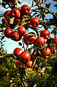 Ripe, Red Apples On An Apple Tree In An Orchard; Quebec, Canada