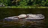 A Snapping Turtle (Chelydra Serpentina) Rests On A Rock In The Water, Algonquin Provincial Park; Ontario, Canada