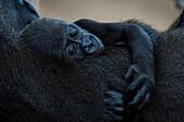 Baby Western Lowland Gorilla (Gorilla Gorilla Gorilla) Asleep In Arms Of Mother; Cabarceno, Cantabria, Spain