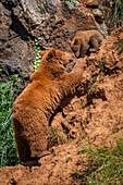 Brown Bear Mother (Ursus Arctos) Climbing Up To Cub; Cabarceno, Cantabria, Spain