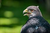 Close-Up Of Black-Chested Buzzard-Eagle (Geranoaetus Melanoleucus) Opening Its Beak; Cabarceno, Cantabria, Spain
