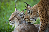 Close-Up Of Canada Lynx (Lynx Canadensis) Grooming Another; Cabarceno, Cantabria, Spain