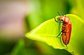 Orange Beetle On A Leaf; Gulu, Uganda