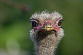 Close-Up Of Ostrich (Struthio Camelus) Against Blurred Green Background; Cabarceno, Cantabria, Spain
