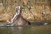 Hippopotamus (Hippopotamus Amphibius) Lifting Head To Open Mouth Wide; Cabarceno, Cantabria, Spain