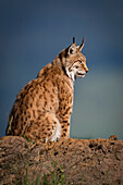 Canada Lynx (Lynx Canadensis) In Profile Sitting On A Rock In The Sunlight; Cabarceno, Cantabria, Spain