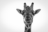 Close-Up Of Giraffe (Giraffa Camelopardalis) Looking At Camera; Cabarceno, Cantabria, Spain