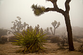 Desert Landscape With Joshua Trees (Yucca Brevifolia), Yucca Plants, Cholla Cactus (Cylindropuntia) And Other Plants In Winter Fog At Joshua Tree National Park; California, United States Of America