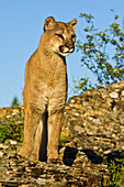 Mountain Lion (Puma Concolor) On Rocks, Captive, Controlled Conditions; Washington, United States Of America