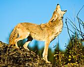 Howling Coyote (Canis Latrans) On A Rocky Ridge; Washington, United States Of America