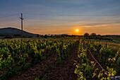 Sunlight Illuminates A Vineyard At Sunset; Medjugorje, Bosnia And Herzegovina
