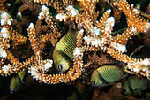 A Group Of Damselfish Among Coral; Moalboal, Cebu, Central Visayas, Philippines