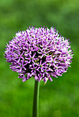 Close-Up Of The Top Of A Large Allium Plant; Calgary, Alberta, Canada