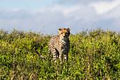 Young Cheetah (Acinonyx Jubatus), Serengeti; Tanzania
