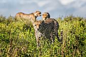 Cheetahs (Acinonyx Jubatus); Tanzania
