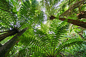 The Massive Fern Forests, Growing To 15 Metres In Height; Samaipata, Bolivia