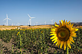 Common Sunflower (Helianthus Annuus, Asteraceae) With Wind Turbines In The Background; Campillos, Malaga, Andalucia, Spain