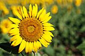 Common Sunflower (Helianthus Annuus, Asteraceae); Campillos, Malaga, Andalucia, Spain